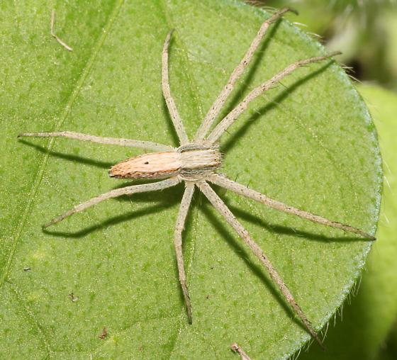 Slender Crab Spider?