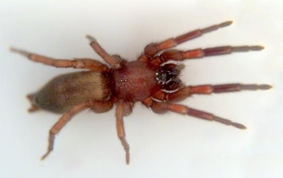 Ground Spider - Nodocion floridanus - female