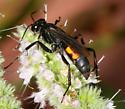 unidentified Pompilidae - Anoplius americanus - female