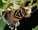 Unknown bug (beetle?) - Trigonopeltastes delta