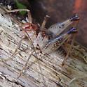 Camel cricket - Ceuthophilus seclusus - male