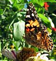 What butterfly please . .  - Vanessa cardui
