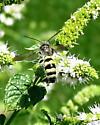 Toltec Scoliid Wasp - Dielis