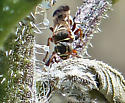 I'm taking a stab at - Cuckoo Bee? - Hoplisoides