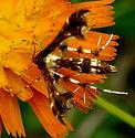 Plume Moth - Geina sp.?