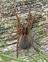 Wolf Spider - Hogna? - Tigrosa helluo - female