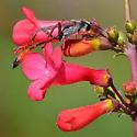 Ammophila alberti - Ammophila aberti
