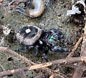 Small black and white spider with green mouthparts  - Phidippus audax