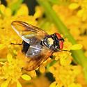 tachinid - Phasia aurulans - male