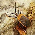 Hemiptera, possibly lygaeidae? - Chelinidea vittiger