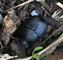 Dung Beetle - Phanaeus triangularis - female