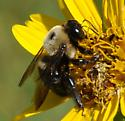 Bumble bee? on Simpson's rosinweed (Silphium Simpsonii) - Xylocopa virginica