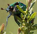 Colorful Beetle - Cotinis mutabilis