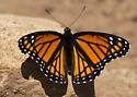 Viceroy Butterfly, Colorado - Limenitis archippus