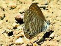 Marine or Cassius Blue  ??? - Leptotes marina