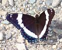 What kind of butterfly? - Limenitis arthemis