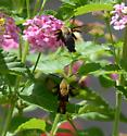 Snowberry Clearwing Moth? - Photographed in Carterville, Illinois, I know it's in the family of Hummingbird Moths. M or F? - Hemaris diffinis