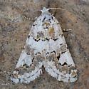 Moth - Tristyla alboplagiata