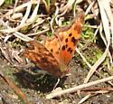 butterfly - Polygonia satyrus
