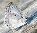 Some kind of blue--? - Celastrina neglecta