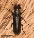 Beetle - Polycaon stoutii