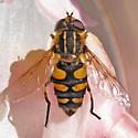 Syrphidae - Helophilus obscurus - female
