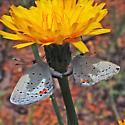Eastern Tailed-Blue - Cupido comyntas - male - female