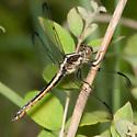 Libellula incesta - Slaty Skimmer - Libellula incesta - female