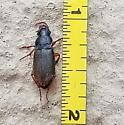 seed corn beetle?