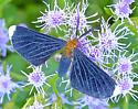 White-tipped Black - Melanchroia chephise
