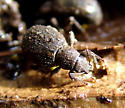Broad-nosed Weevil Party - Nemocestes horni