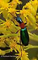 Carabidae? - Calleida punctata