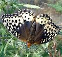 Speyeria cybele - female