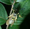 Wasp - Walton (WCH) - Pennisetia marginata
