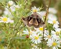 moth - Anagrapha falcifera