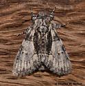 Moth - Raphia frater