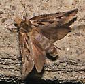 Moth? - Acrolophus popeanella