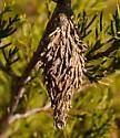 Thyridopteryx-ephemeraeformis-–-Evergreen-Bagworm-Moth - Thyridopteryx ephemeraeformis