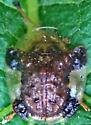 Tortoise beetle - Plagiometriona clavata