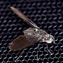 Bee Fly - Anthrax aterrimus