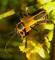 Goldenrod Soldier Beetles - Chauliognathus pensylvanicus - male - female