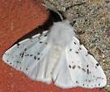 Agreeable Tiger Moth - Hyphantria cunea