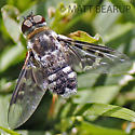 Bee Fly - Thyridanthrax fenestratoides