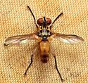 Fly - Xanthomelanodes