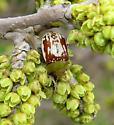 Sumac Flea Beetle - Blepharida rhois