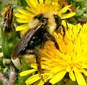 Bumble Bee - Bombus fernaldae