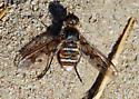 Orange County Bee Fly Archives #284 - Exoprosopa doris