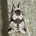 White Furcula  - Furcula borealis