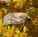 Small moth on seaside goldenrod - Euxoa detersa