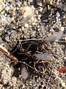 Ants - Prenolepis imparis